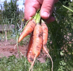 carrots-farm-to-table